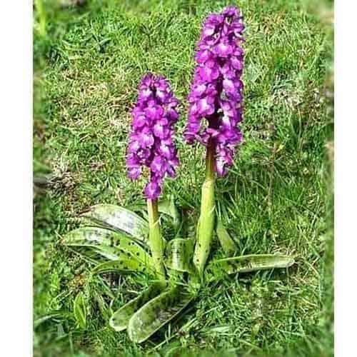 salam mishri (orchis mascula plant)