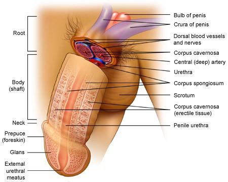 penis anatomy