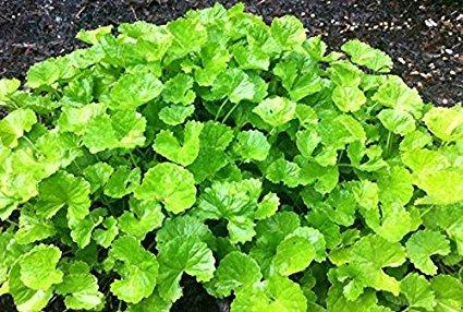 brahmi ayurvedic herb